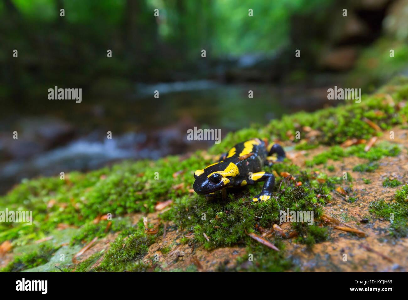 European salamander / Fire salamander (Salamandra salamandra) near stream in forest - Stock Image