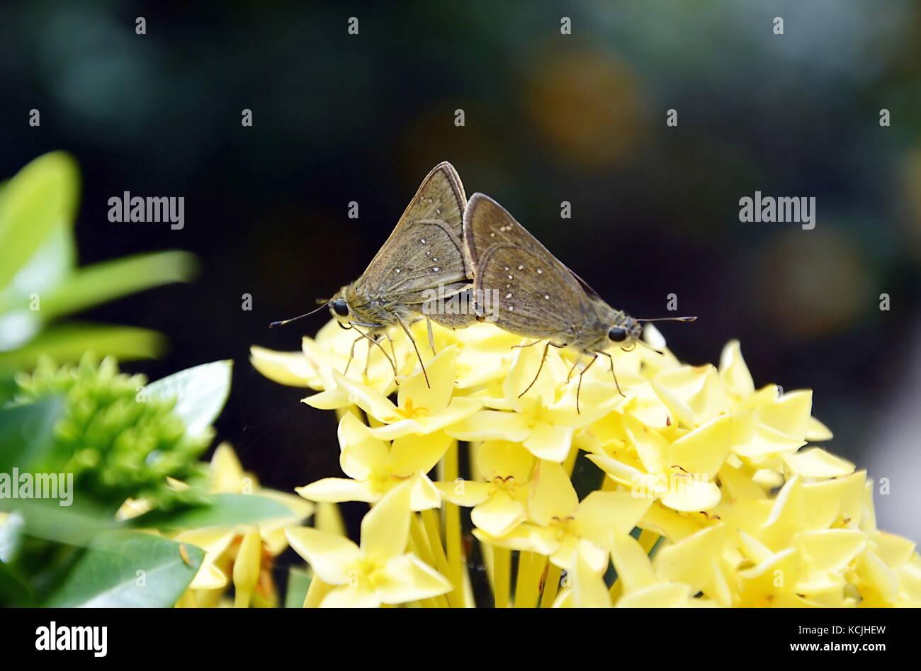 butterfly breeding on yellow  Ixora flower - Stock Image