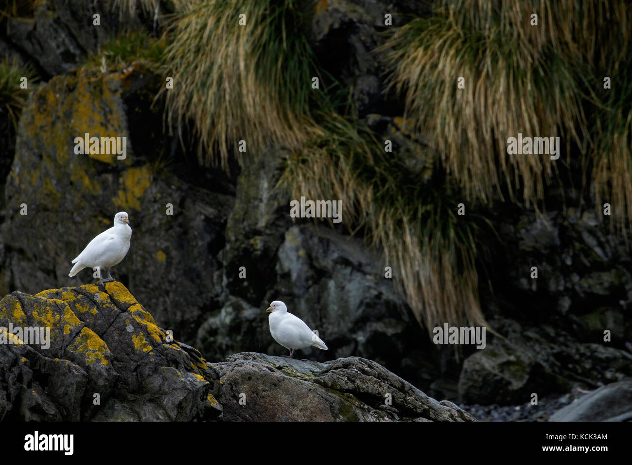 Snowy Sheathbill, Chionis albus, South Georgia Island. Stock Photo