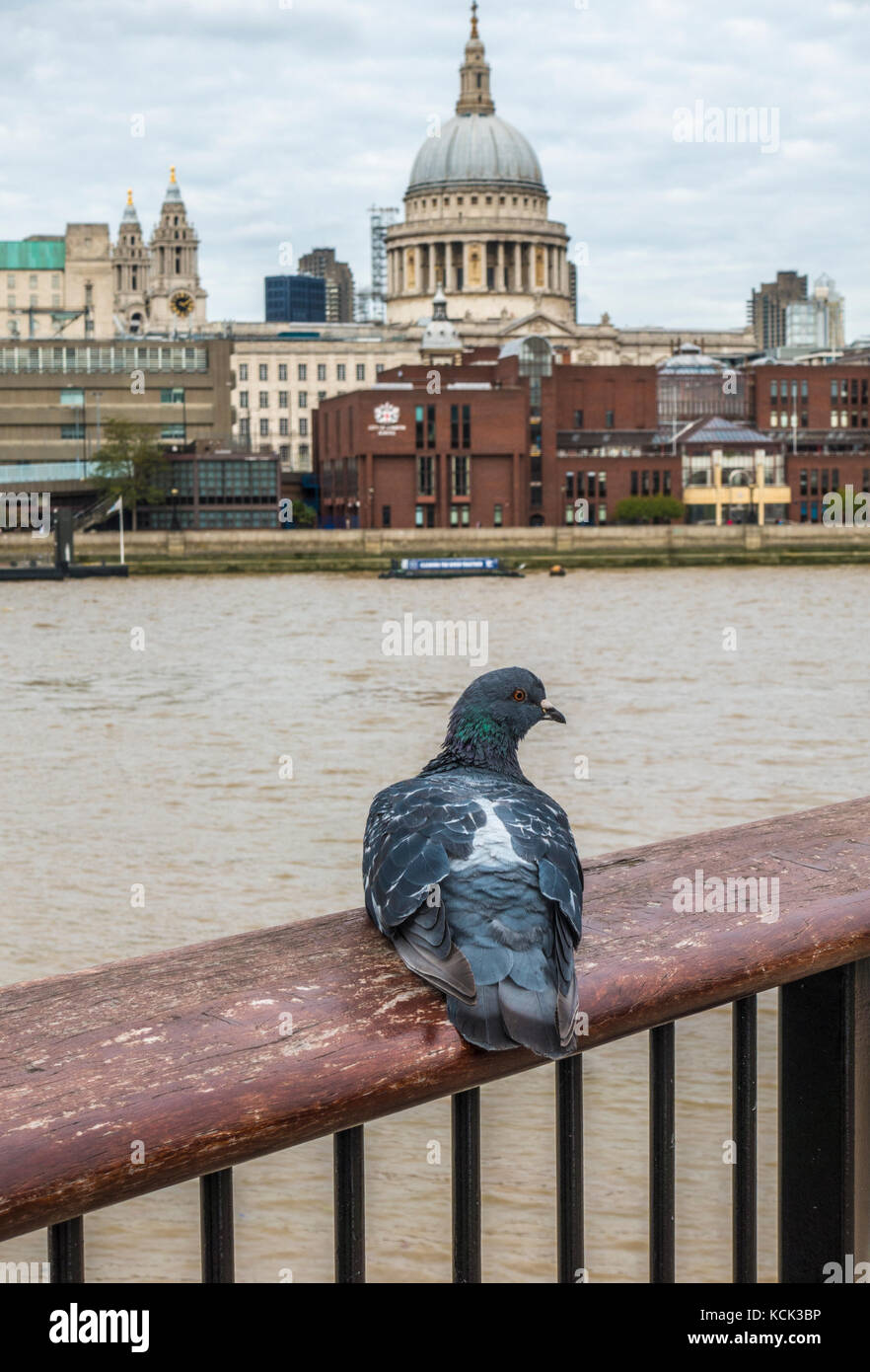Close view of a feral pigeon (Columba livia domestica) on a handrail overlooking River Thames, with St Paul's - Stock Image
