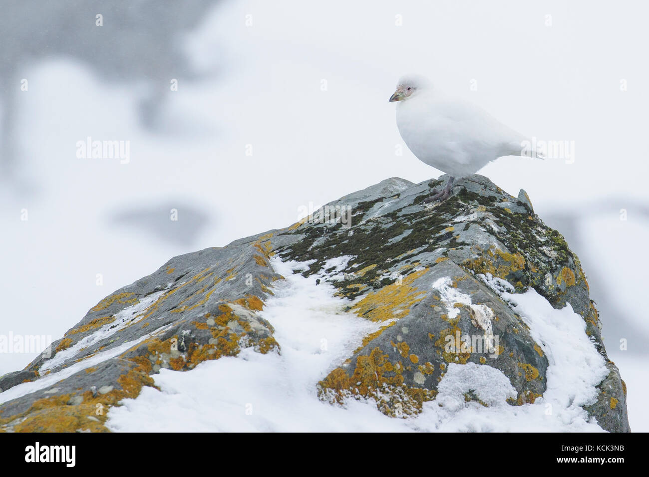 Snowy Sheathbill, Chionis albus, South Georgia Island. - Stock Image