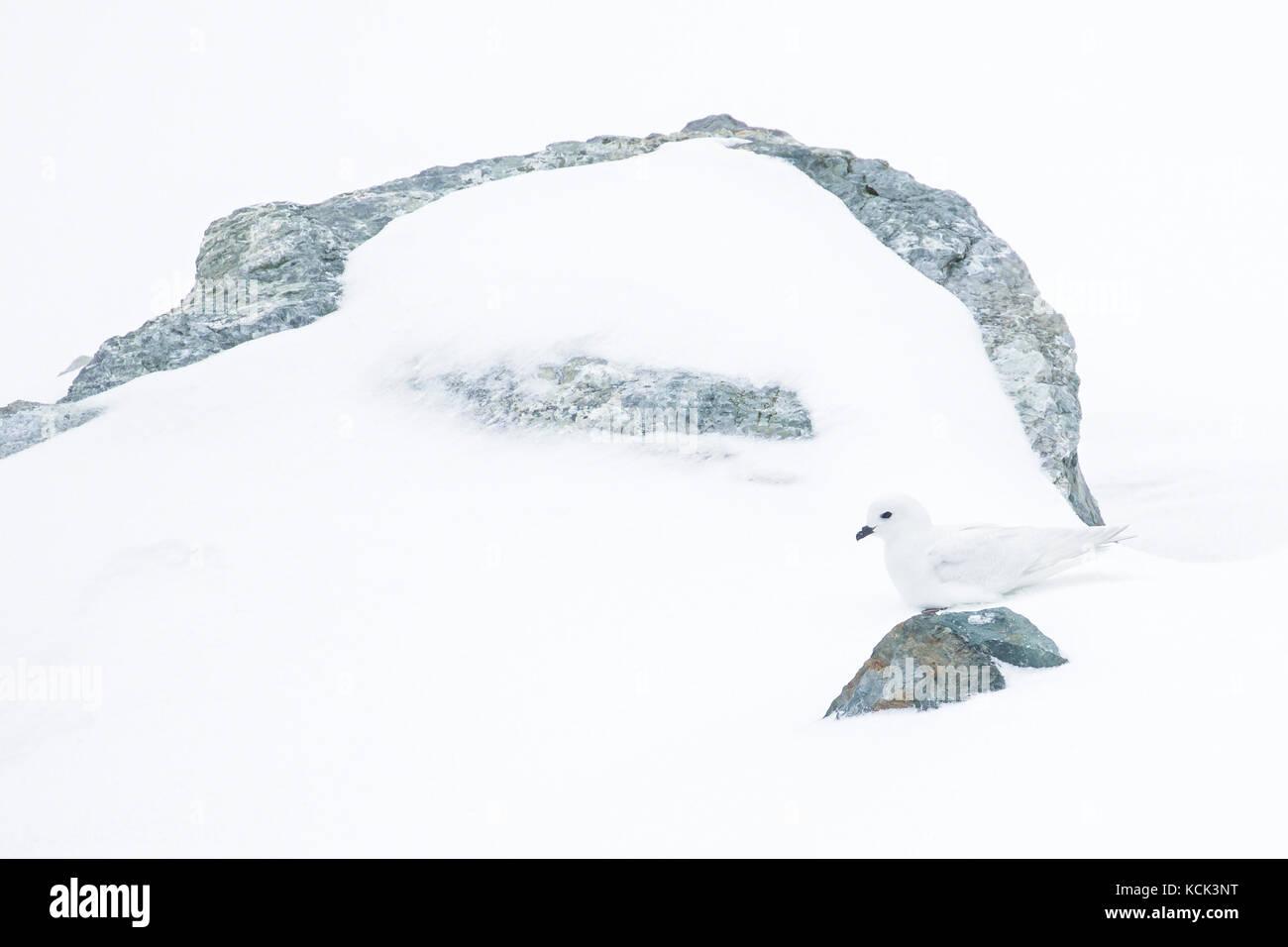 Snow Petrel (Pagodroma nivea) on snow on South Georgia Island - Stock Image