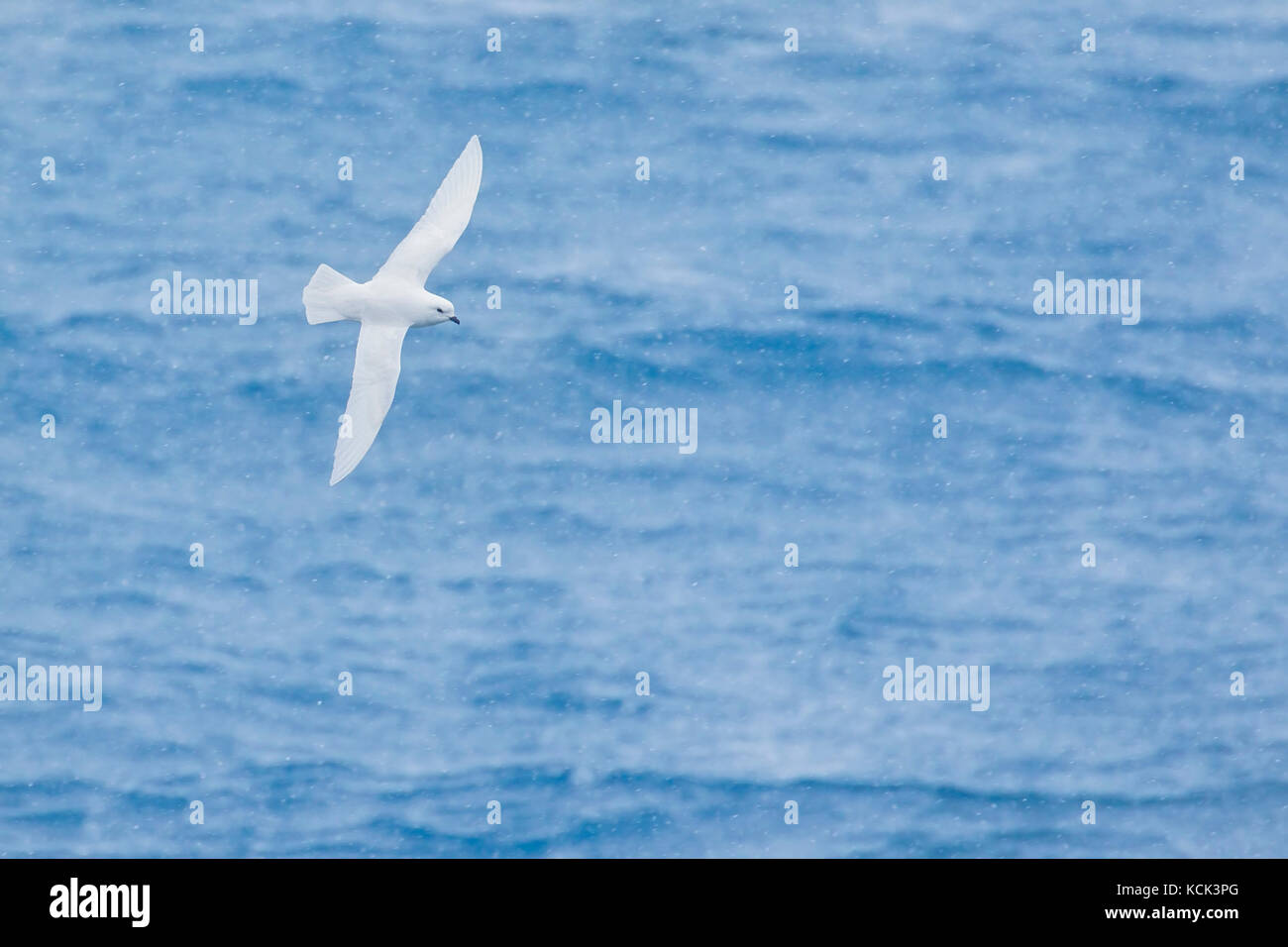 Snow Petrel (Pagodroma nivea) flying over the ocean searching for food near South Georgia Island. - Stock Image