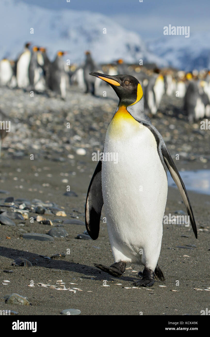 King Penguin (Aptenodytes patagonicus) perched on a rocky beach on South Georgia Island. - Stock Image