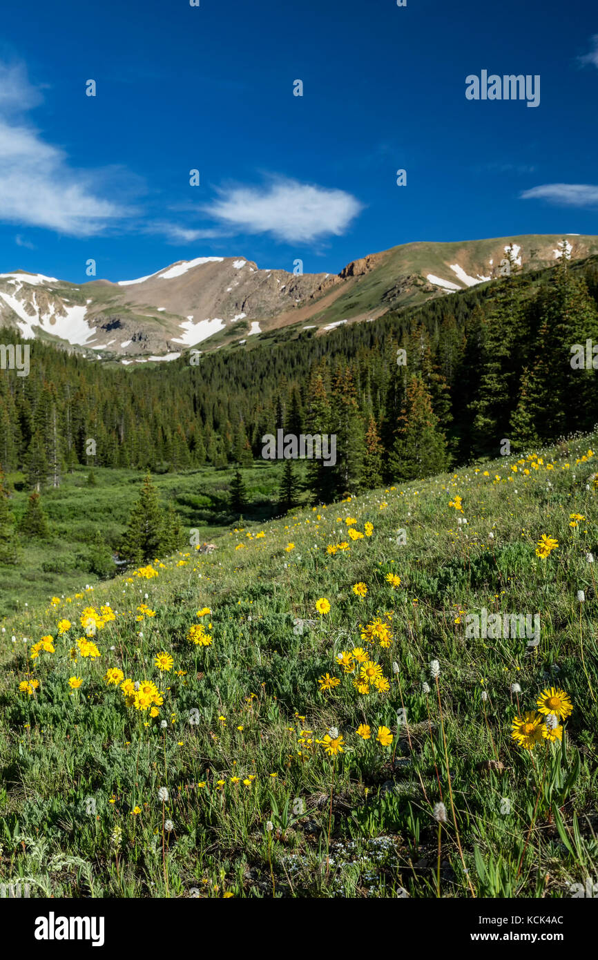 Wildflowers and mountains, Herman Gulch Trail, Arapaho National Forest, Colorado USA - Stock Image