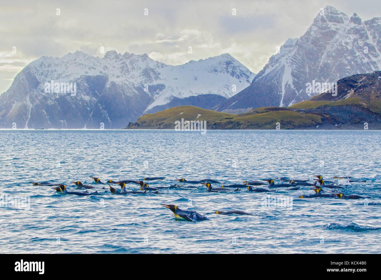 King Penguin (Aptenodytes patagonicus) swimming in the ocean near South Georgia Island. - Stock Image