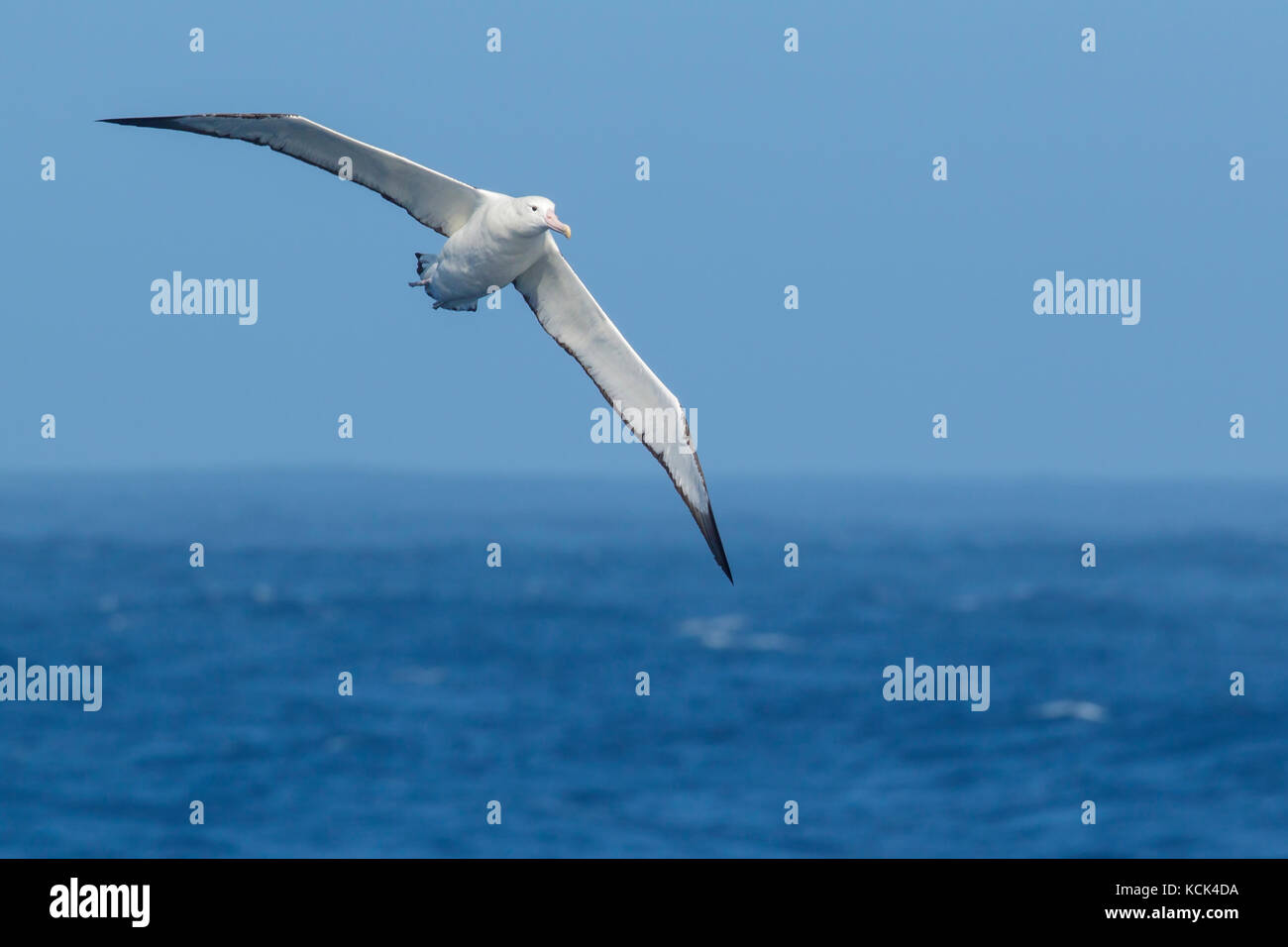 Southern Royal Albatross (Diomedea epomophora epomophora) flying over the ocean in search of food near South Georgia - Stock Image