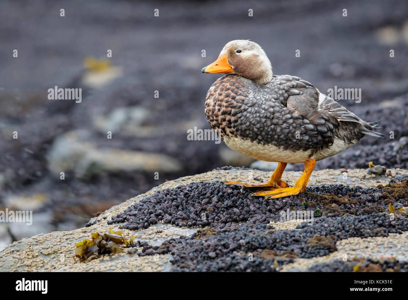 Falkland (Flightless) Steamer-Duck (Tachyeres brachypterus) perched on a rock in the Falkland Islands. - Stock Image