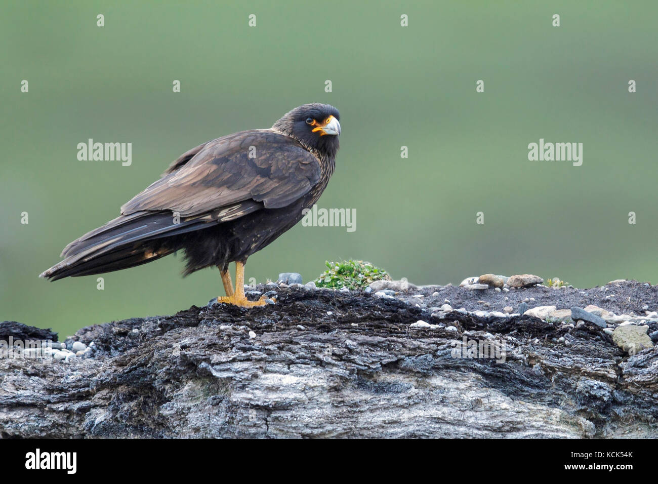 Striated Caracara (Phalcoboenus australis) perched on a rock in the Falkland Islands. Stock Photo