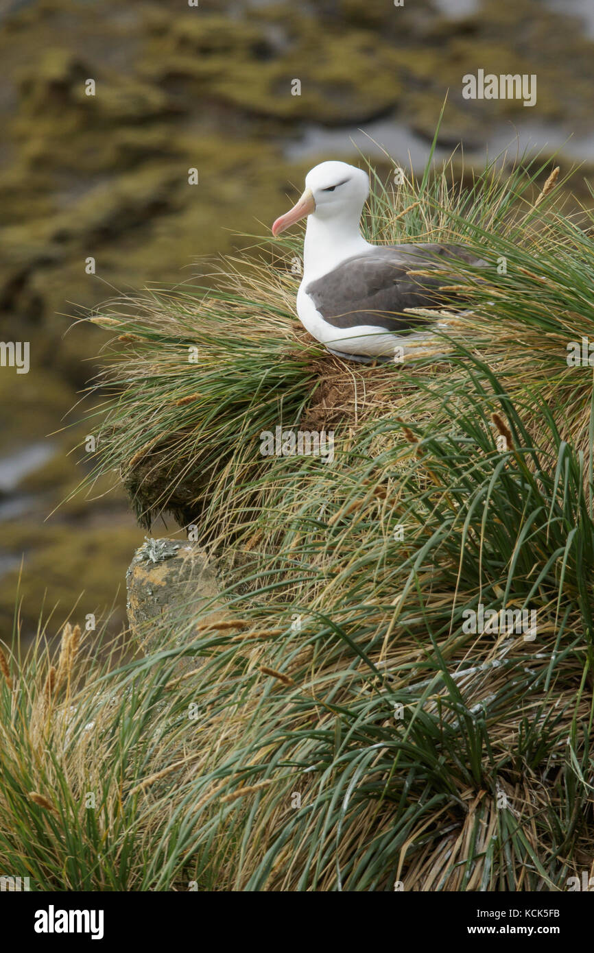 Black-browed Albatross (Thalassarche melanophris) at a nesting colony in the Falkland Islands. - Stock Image