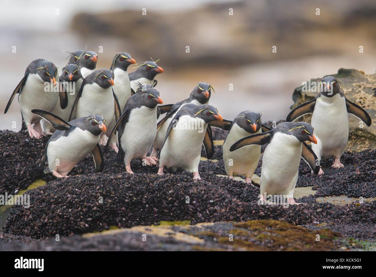 Rockhopper Penguin (Eudyptes chrysocome) along the shoreline in the Falkland Islands. - Stock Image