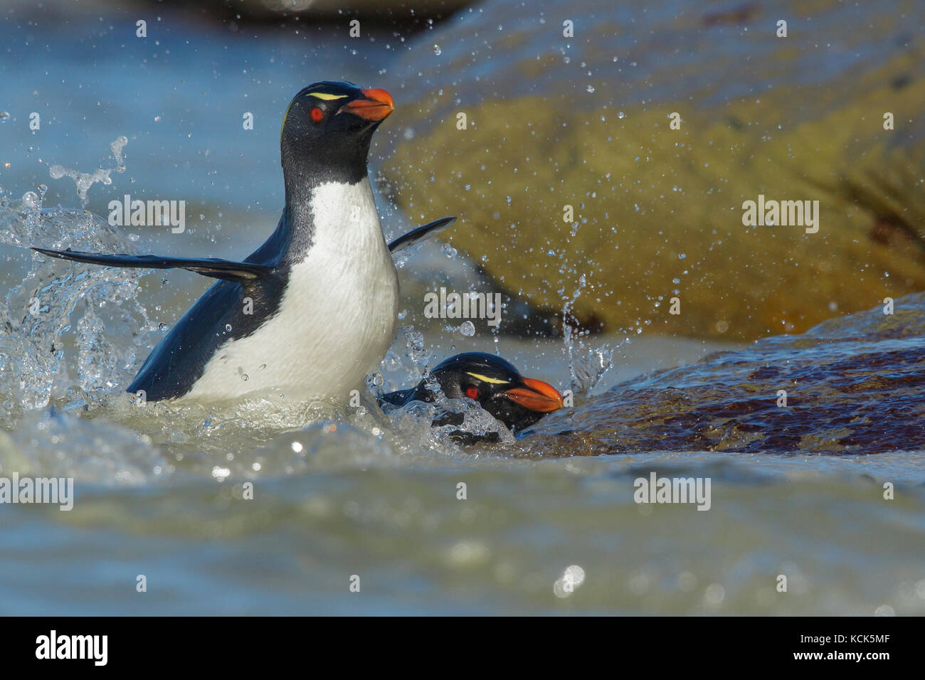 Rockhopper Penguin (Eudyptes chrysocome) emerging from the ocean in the Falkland Islands. - Stock Image