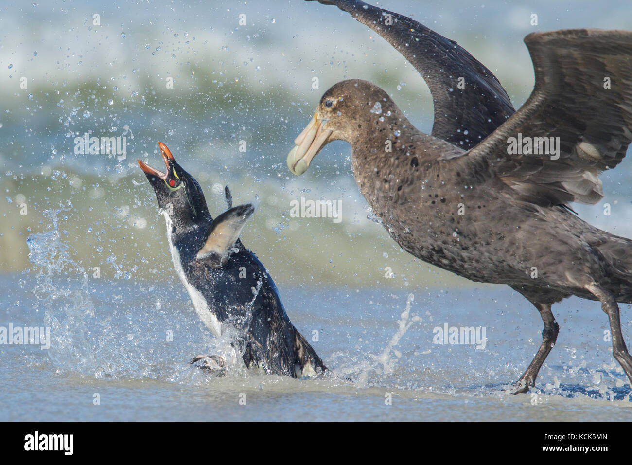 A Giant Petrel attacks a Rockhopper Penguin, Eudyptes chrysocome, as it emerges from the ocean in the Falkland Islands. - Stock Image