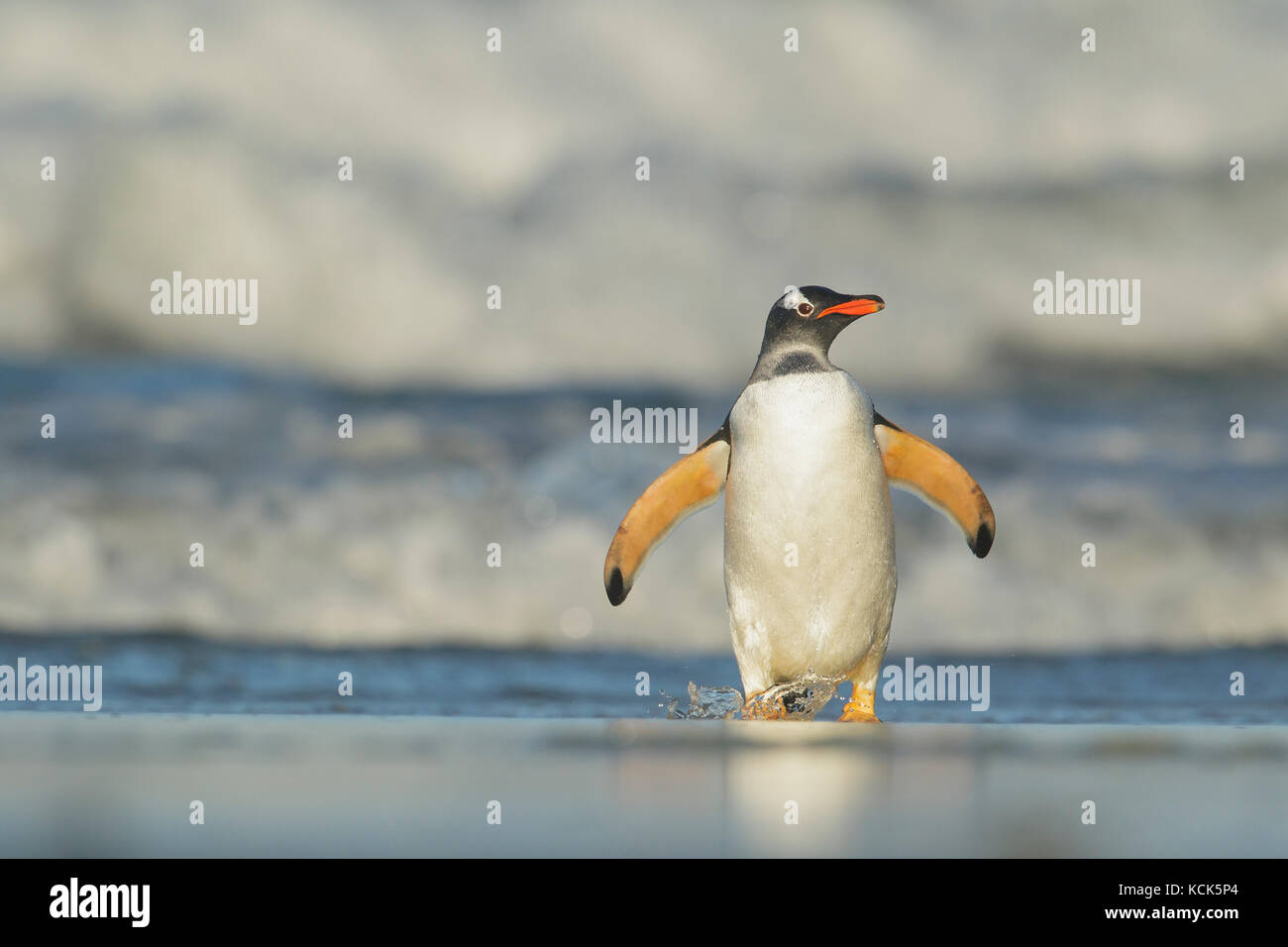 Gentoo Penguin (Pygoscelis papua) emerging from the ocean in the Falkland Islands. - Stock Image