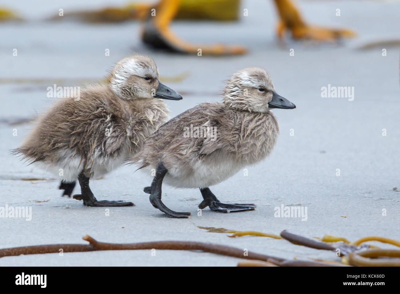 Falkland (Flightless) Steamer-Duck (Tachyeres brachypterus) in the Falkland Islands. Stock Photo