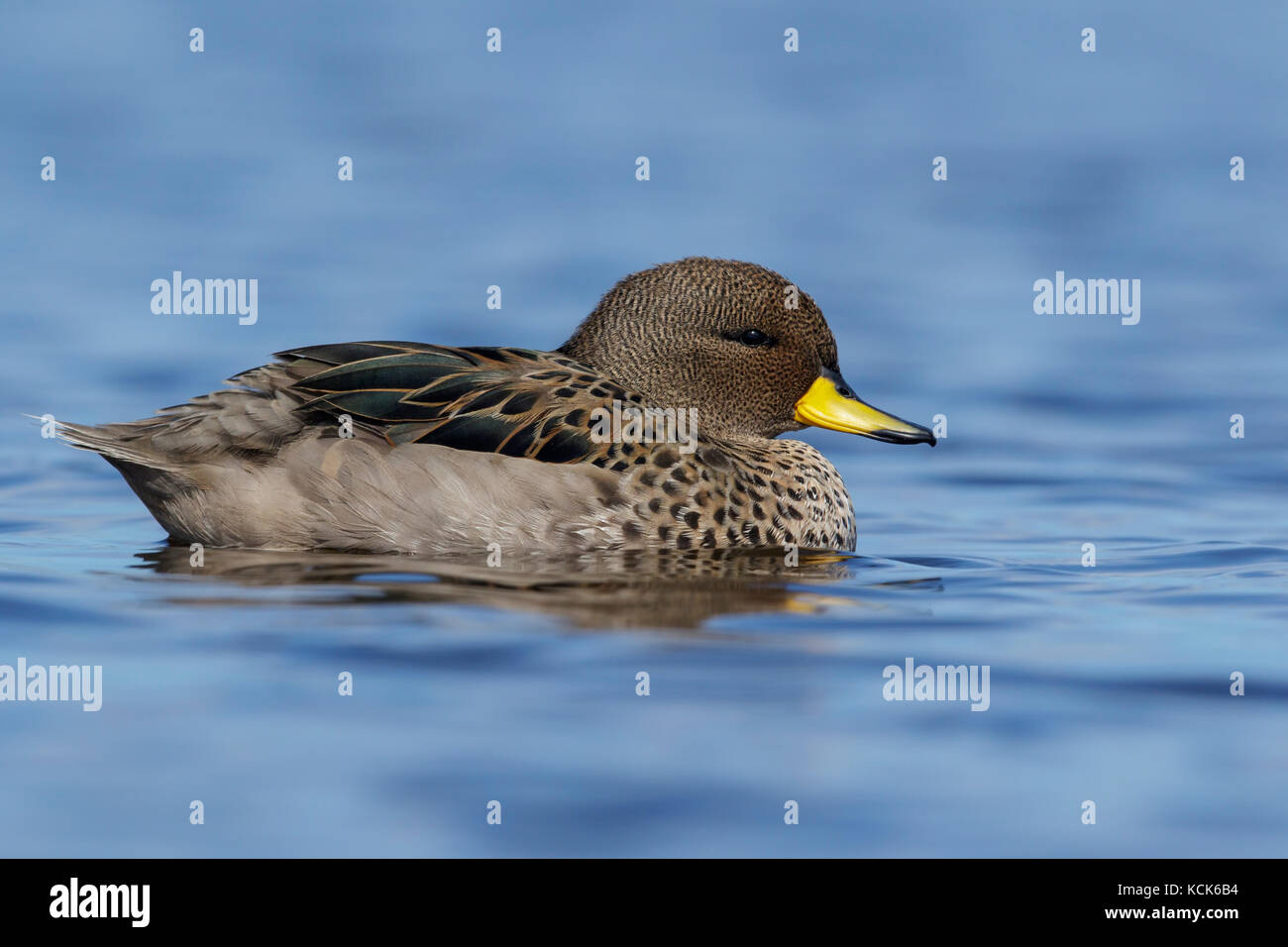 Speckled Teal (Anas flavirostris) swimming on a small pond in the Falkland Islands. - Stock Image