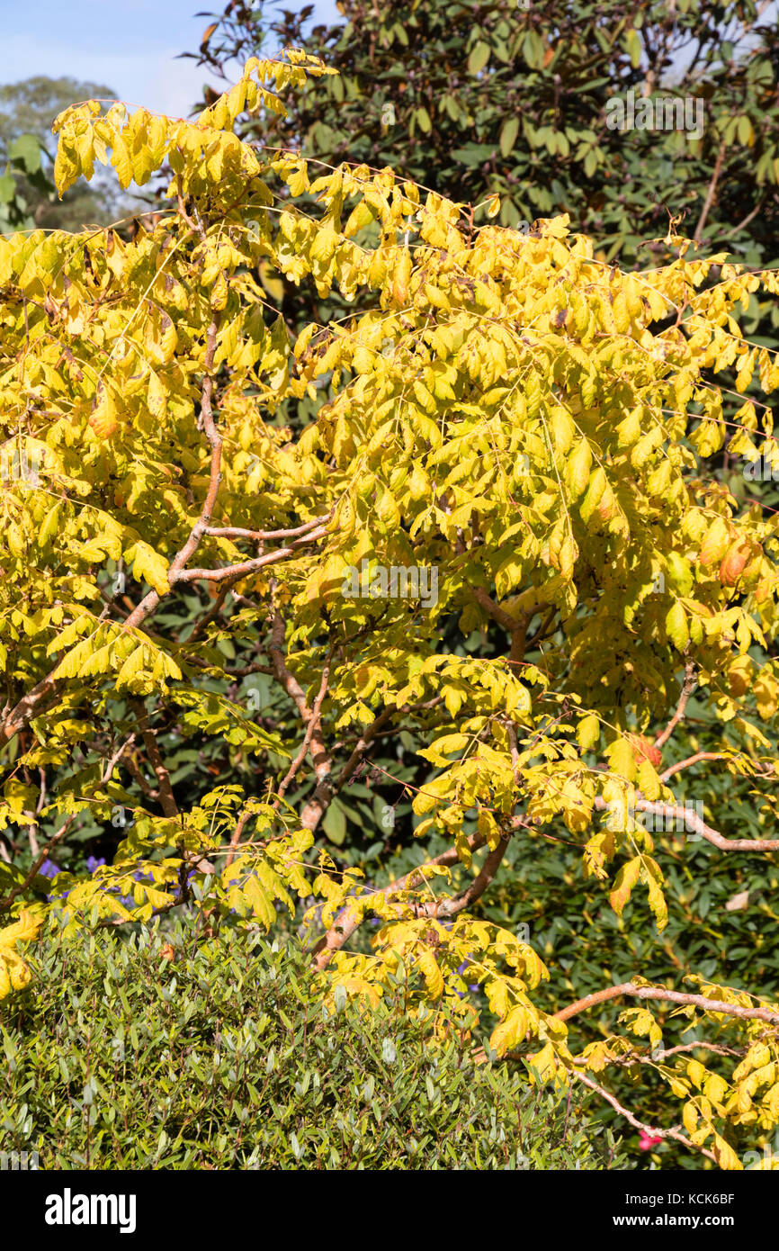 Yellow autumn foliage colour of the selected form of the Golden rain tree, Koelreuteria paniculata 'Coral Sun' - Stock Image