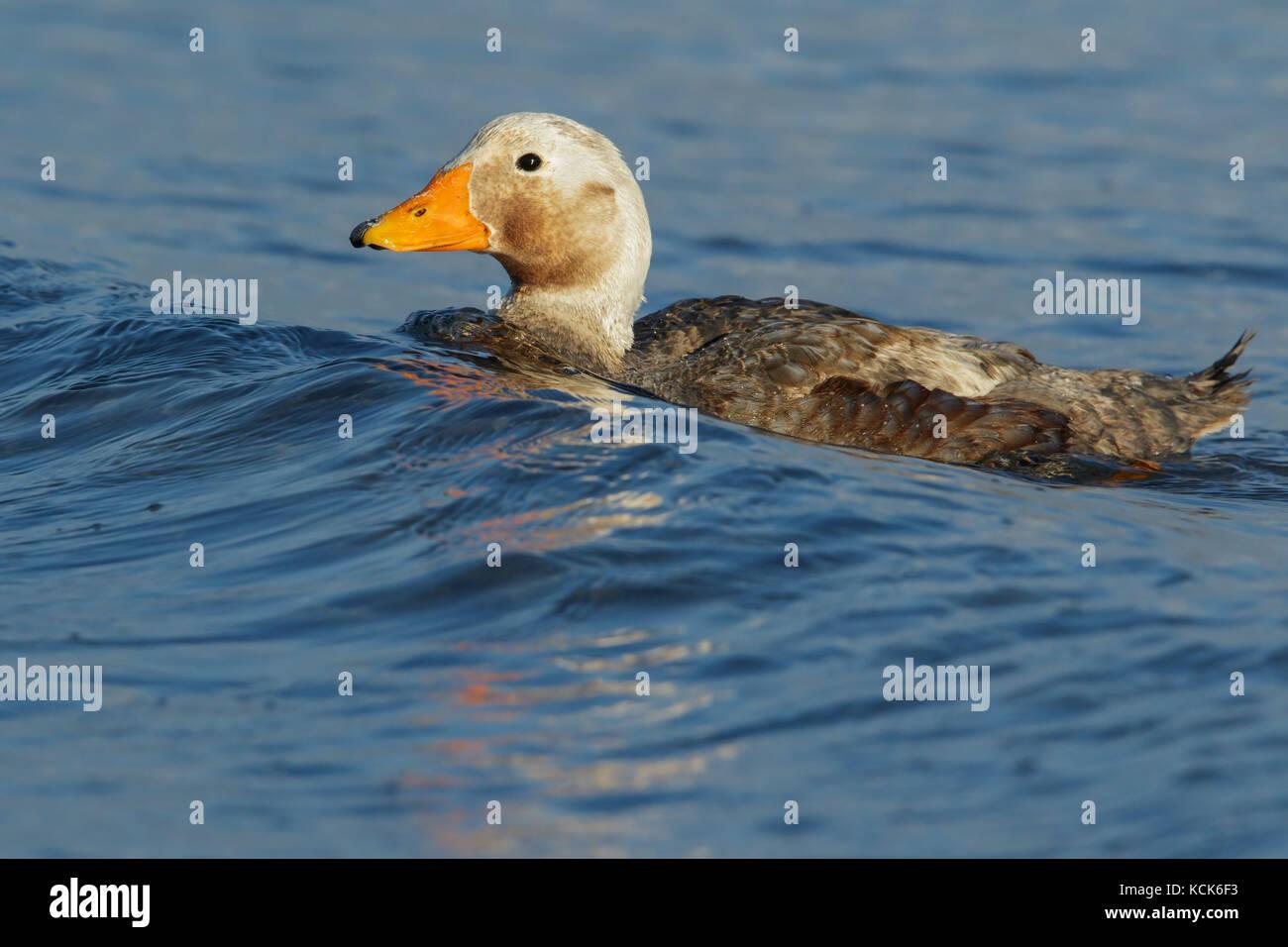 Falkland (Flightless) Steamer-Duck (Tachyeres brachypterus) swimming in the ocean in the Falkland Islands. - Stock Image
