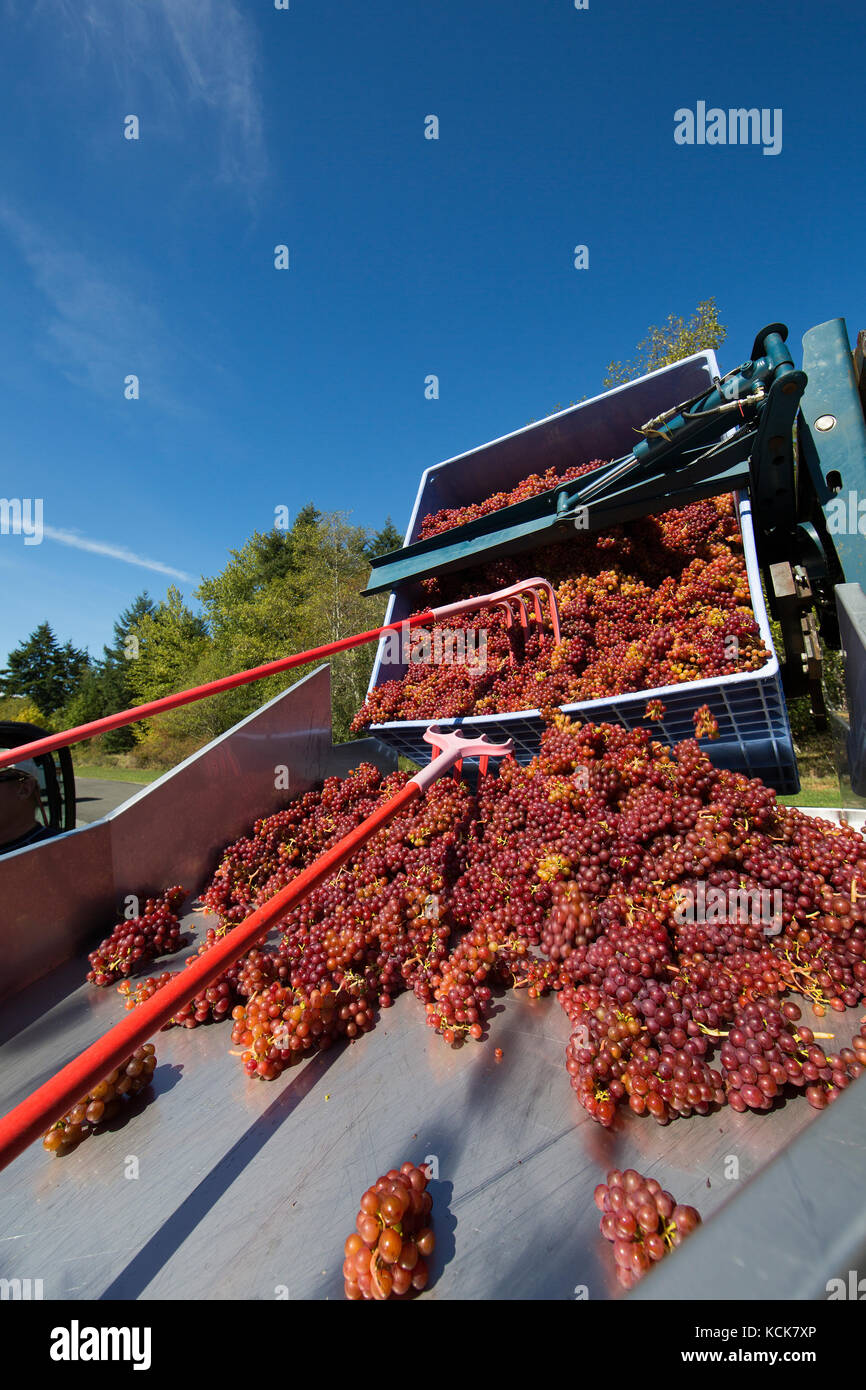 A bin of freshly picked Ortega grapes is lowered into an onsite crusher at Beaufort Vineyard and Estate Winery. - Stock Image