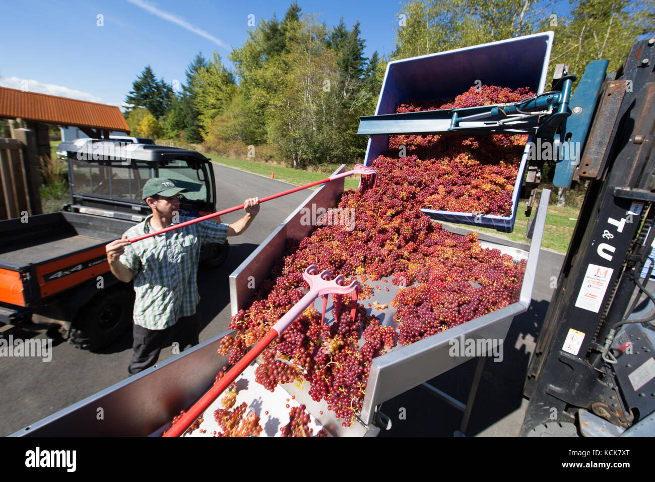 A volunteer at Beaufort Winery and Estate guides freshly picked  Ortega grapes into an onsite crusher, Courtenay, - Stock Image