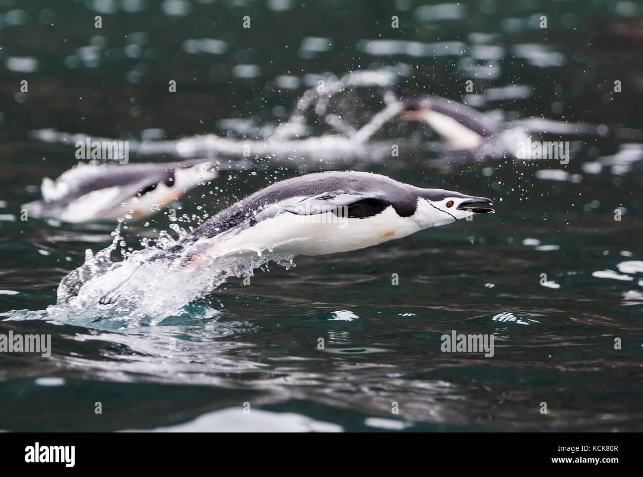 A Chinstrap Penguin (Pygoscelis antarctica) explodes out of the water while swimming in waters near Brown Bluff, Stock Photo