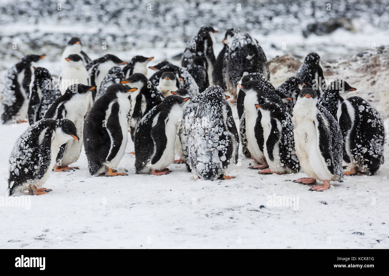 Baby Gentoo Penguins (Pygoscelis papua) at Brown Bluff huddle together in groups known as Creches, Brown Bluff, - Stock Image
