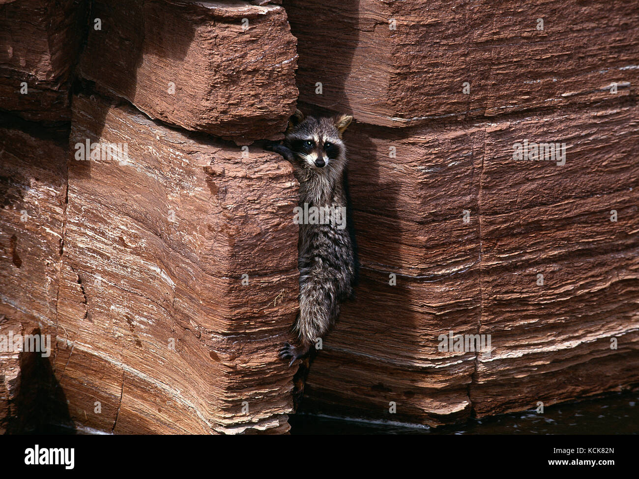 USA. Utah. Canyon Lands National Park. Wildlife. Raccoon clinging to crack in riverside rock. - Stock Image
