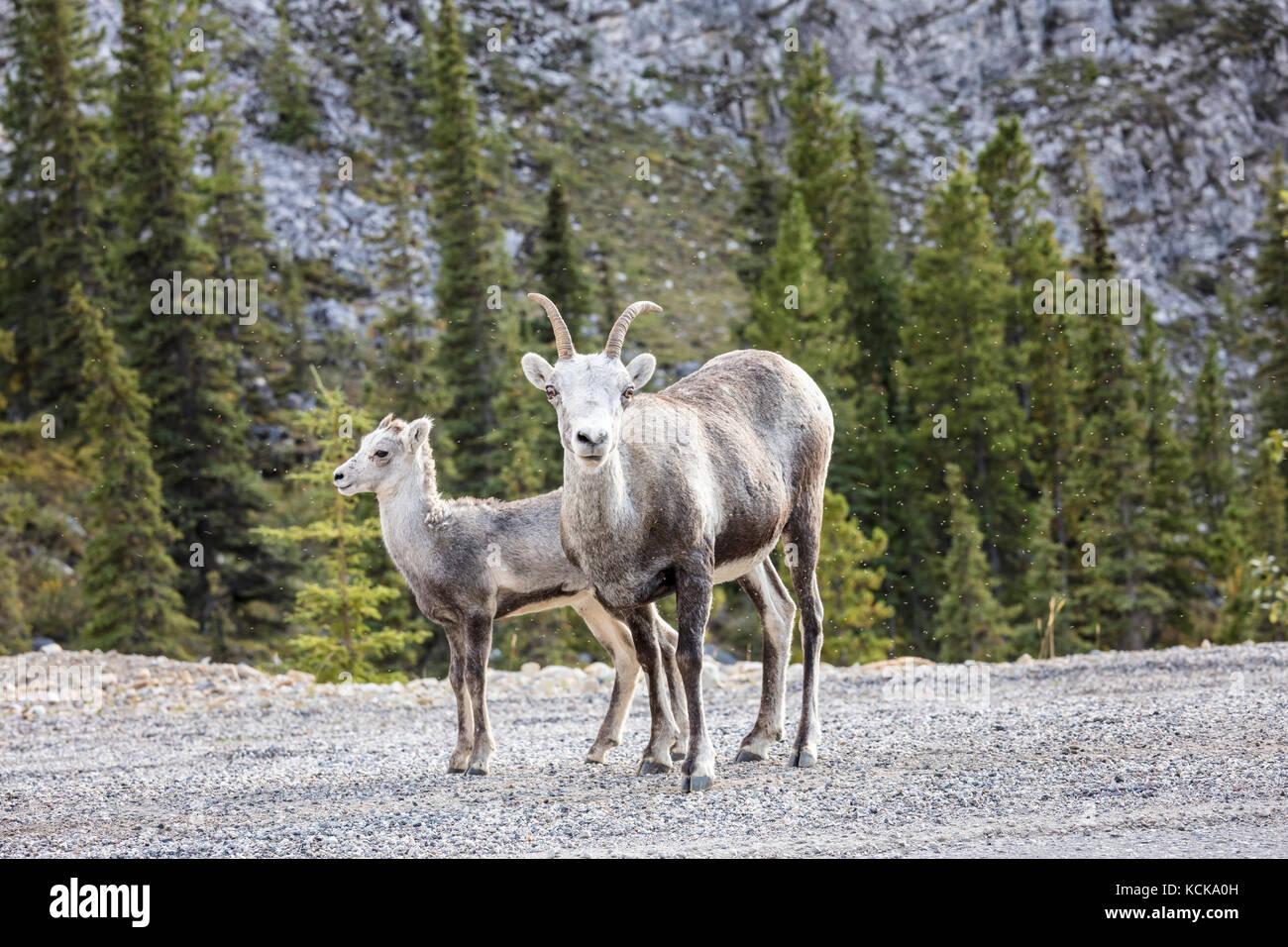 Stone Sheep  (Ovis dalli stonei)  ewe and lamb, Stone Mountain Provincial Park, British Columbia, Canada - Stock Image