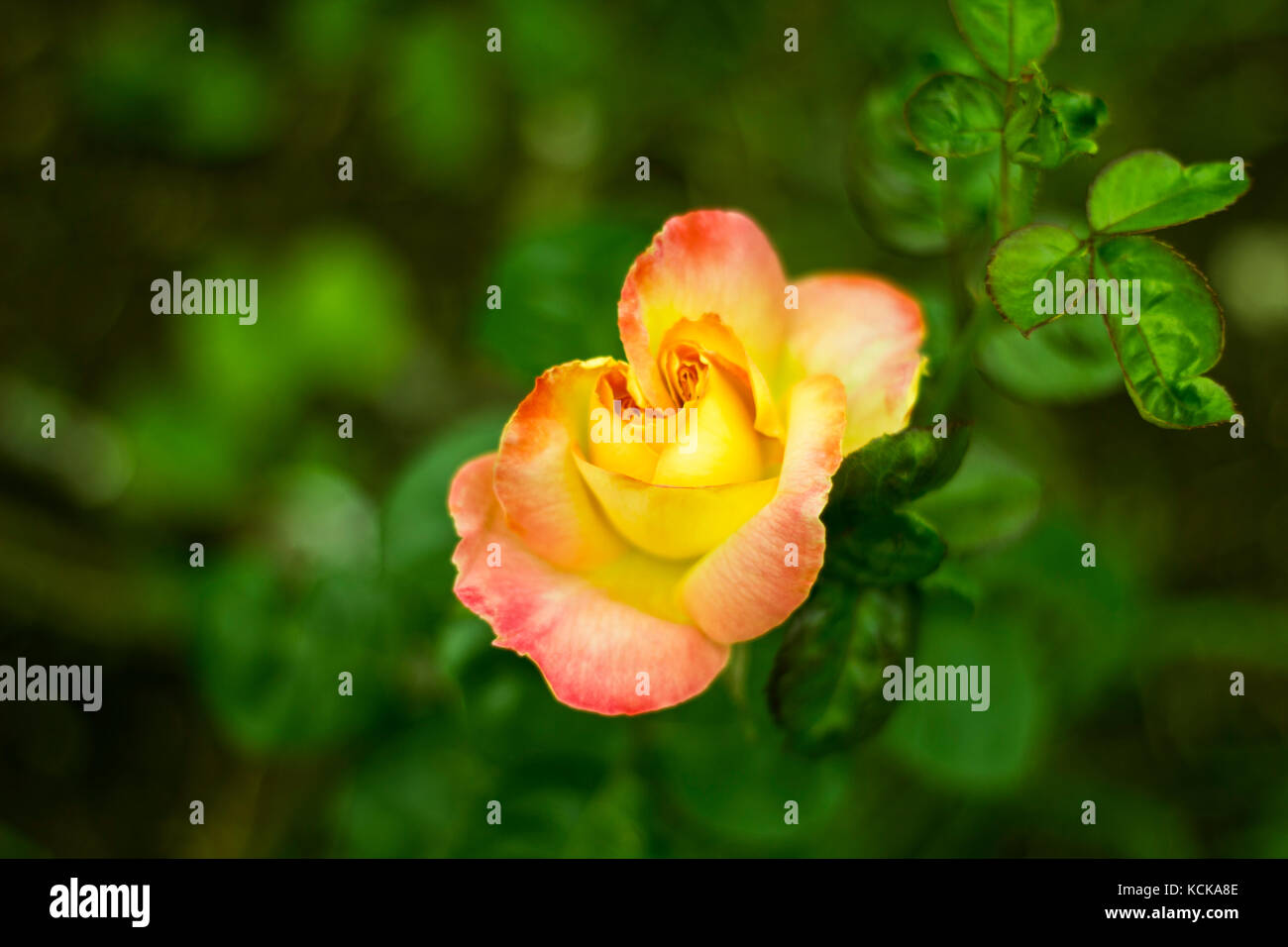 Yellow Garden Rose with redish petal edges. - Stock Image