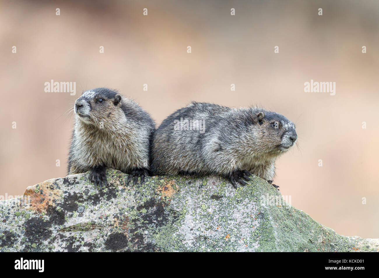 Two Hoary Marmots (Marmota caligata), Jasper National Park, Alberta, Canada - Stock Image
