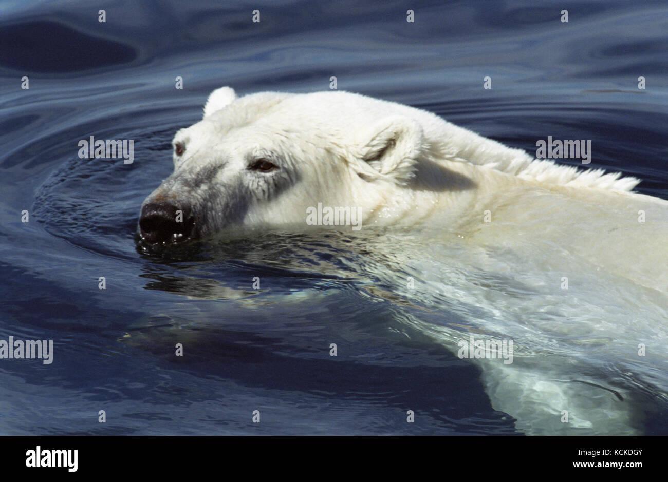 Polar bear, Ursus maritimus, swims in Wager Bay, Ukkusiksalik National Park, Nunavut, Canada - Stock Image