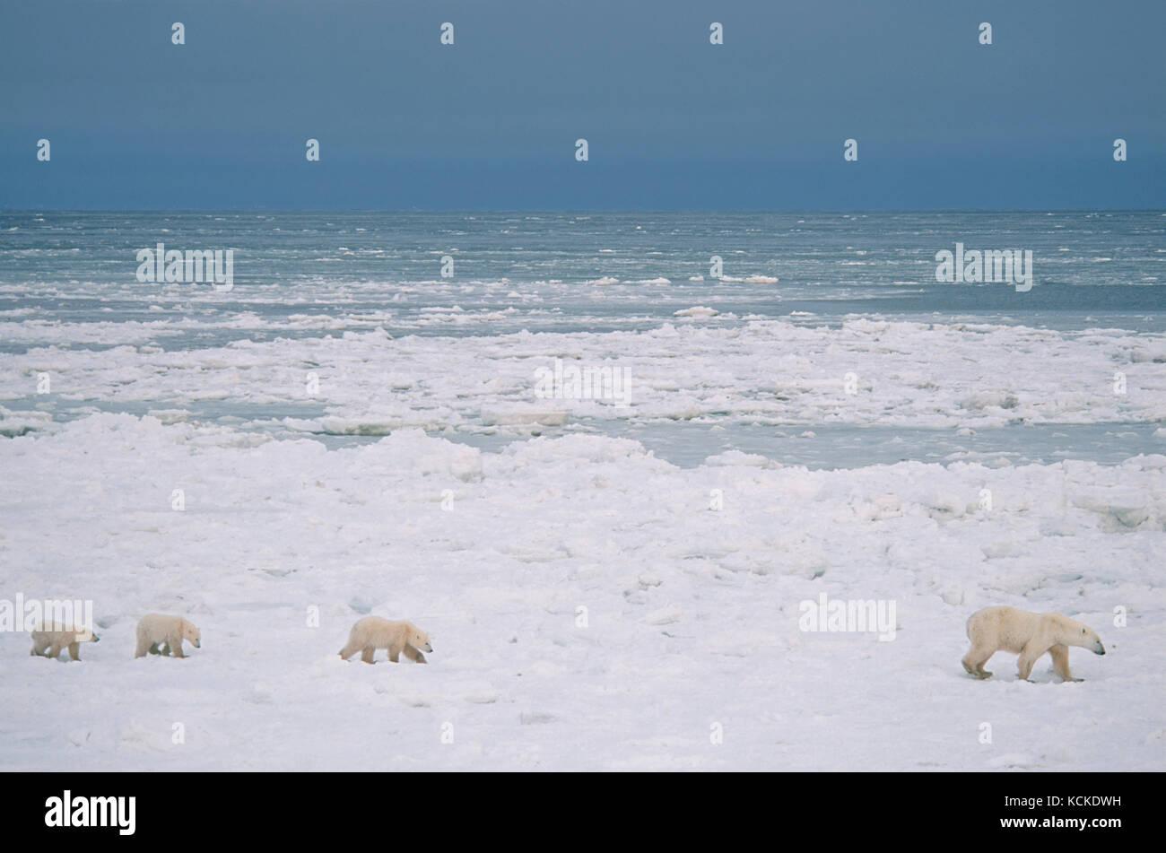 Polar bear mother with three cubs (unusual), Ursus maritimus, on nearshore ice near Churchill, Manitoba, Canada - Stock Image