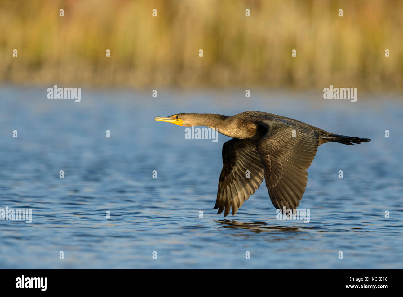 Neotropic Cormorant, Phalacrocorax brasilianus, flying over marsh, Saskatchewan, Canada - Stock Image