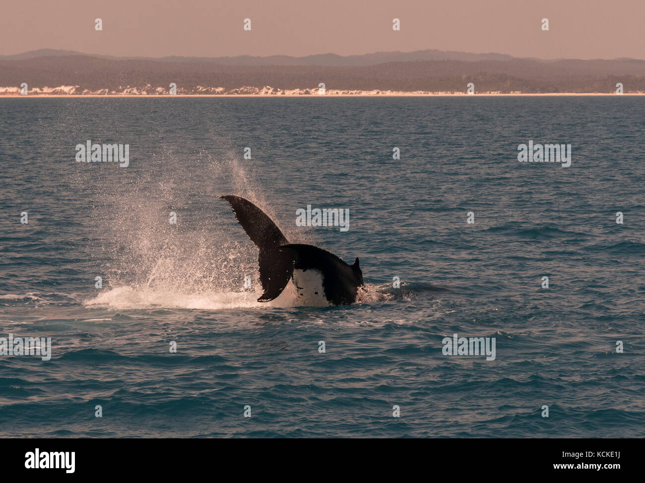 Humpback whales displaying there skills to the whale watchers at Hervey Bay, Queensland, Australia. - Stock Image