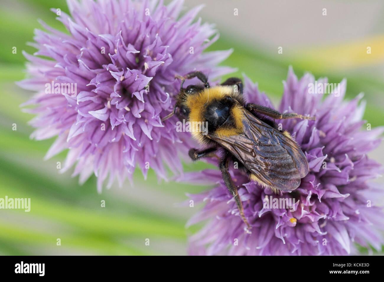 Cuckoo Bumble Bee, Bombus insularis, on chive flowers, Warman, Saskatchewan, Canada Stock Photo