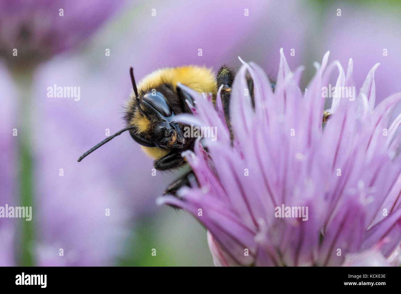 Tricolored Bumble Bee, Bombus ternarius, on chive flowers, Warman, Saskatchewan, Canada Stock Photo
