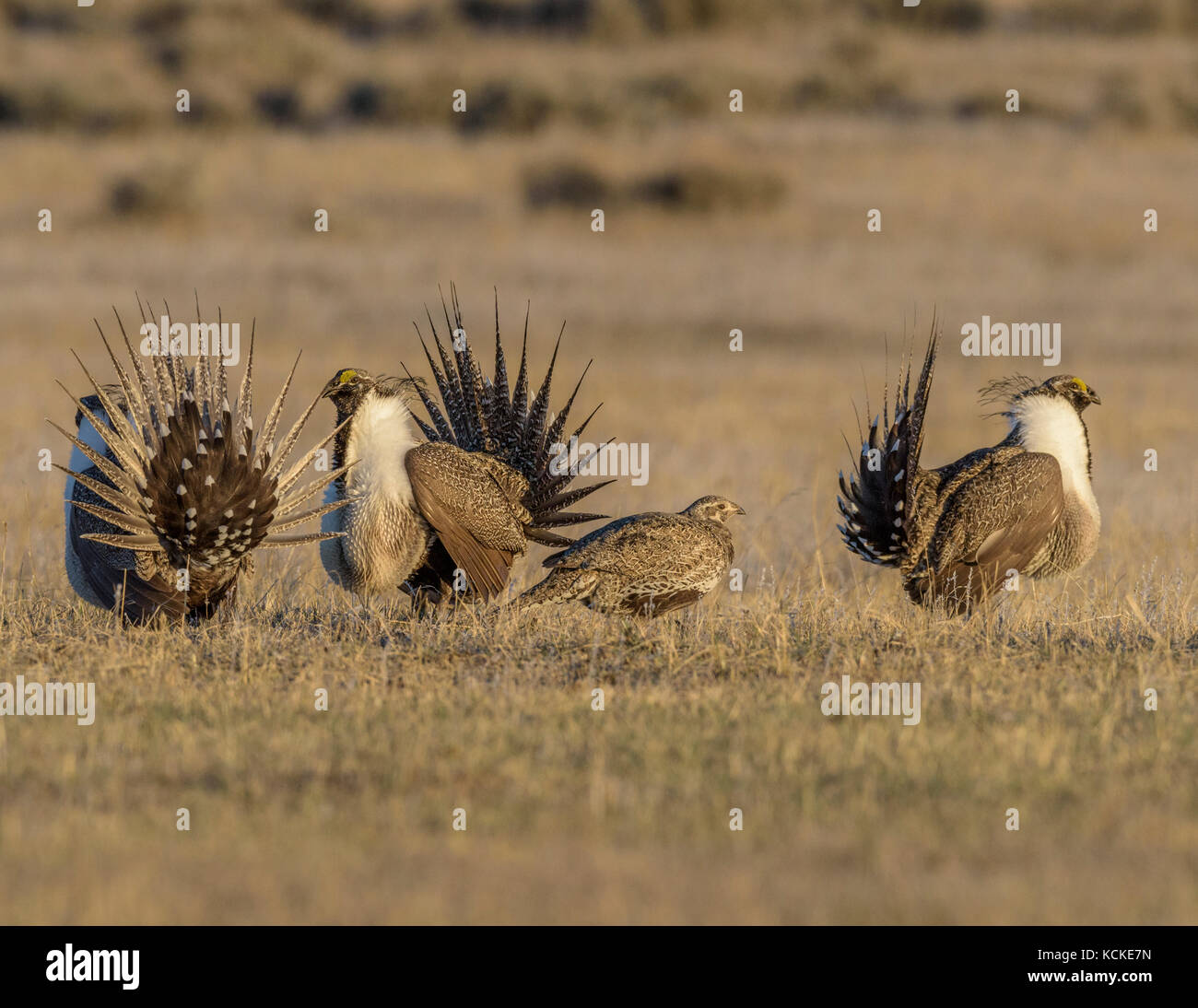 Sage Grouse, Centrocercus urophasianus, males dancing on their lek around female, Montana, USA - Stock Image