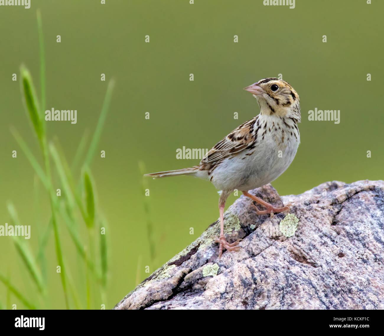 Baird's Sparrow, Ammodramus bairdii, perched in field at Grasslands National Park, Saskatchewan, Canada - Stock Image