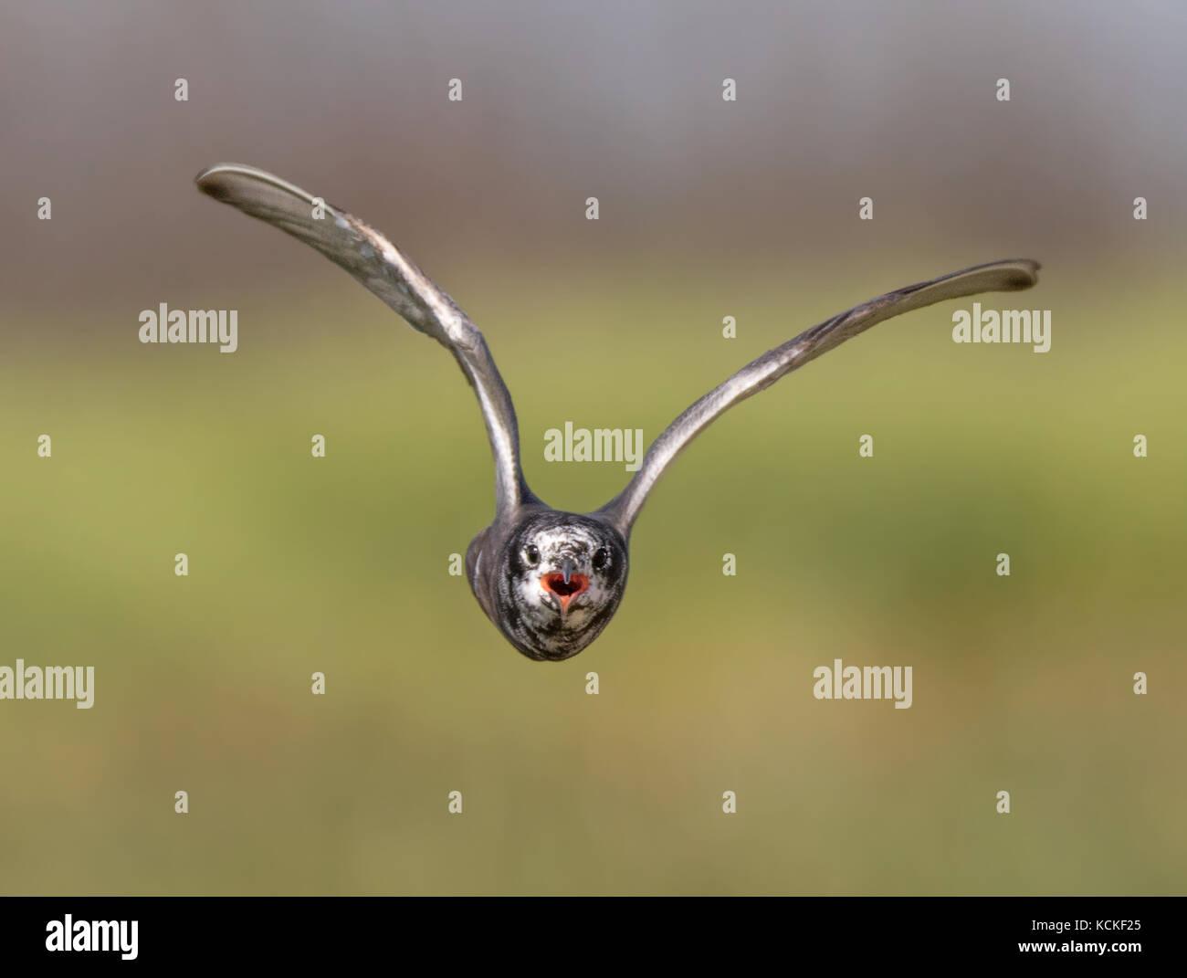 A Black Tern, Chlidonias niger, agressively dive bombs the photographer, near Saskatoon, Canada - Stock Image