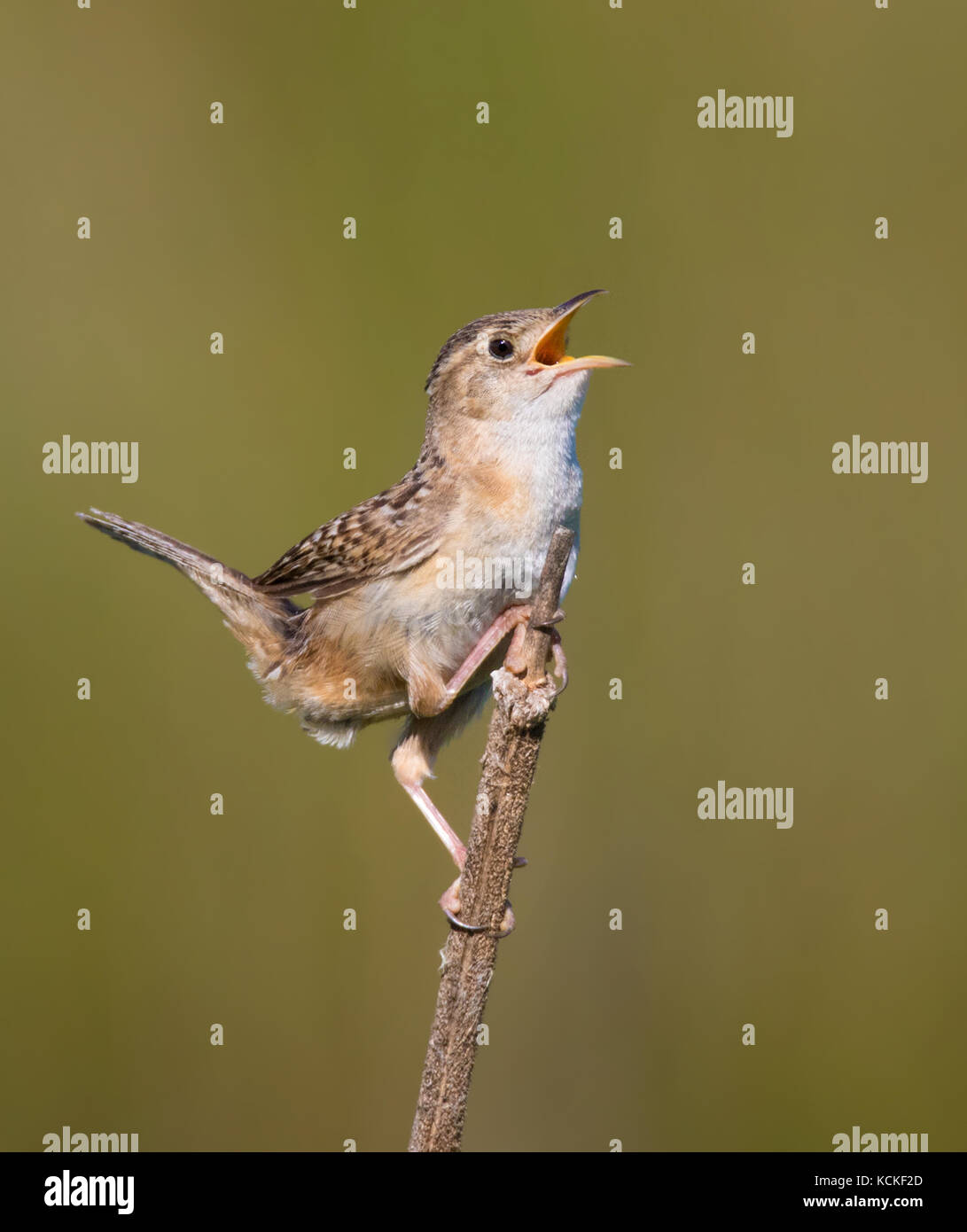 A Sedge Wren, Cistothorus platensis, sings from a perch near Saskatoon, Saskatchewan Stock Photo