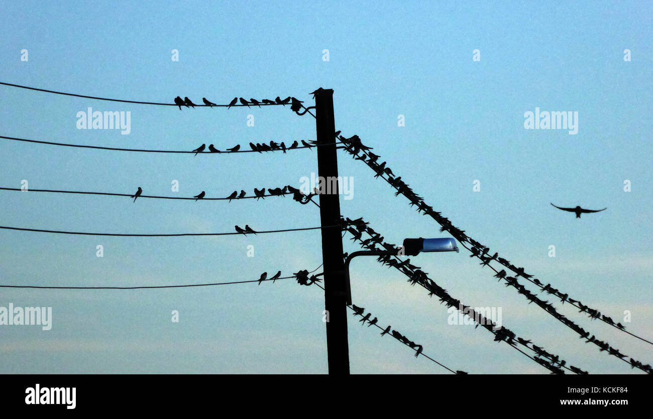 Barn Swallow On Electric Wire Stock Photos & Barn Swallow On ...