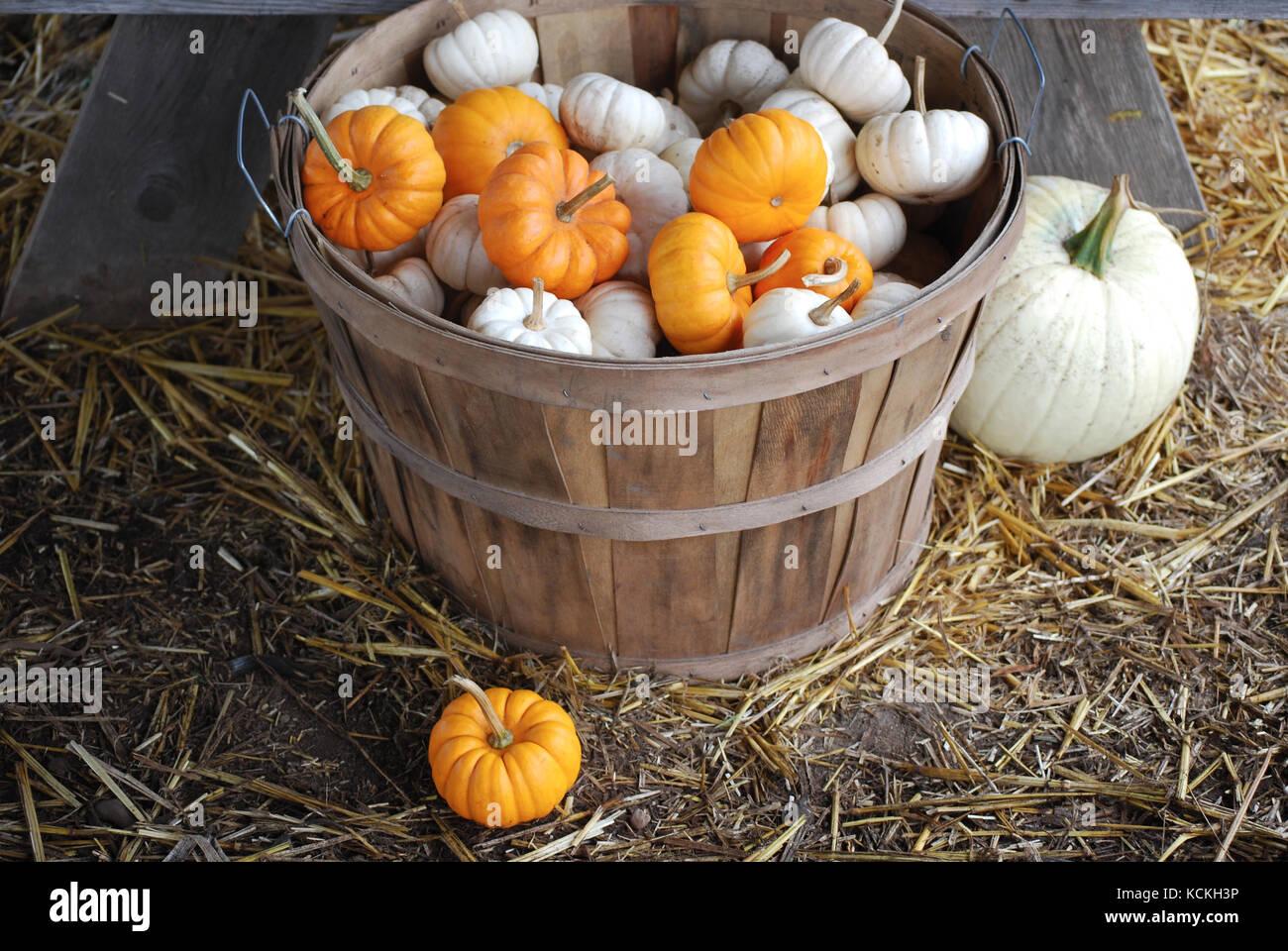 Bushel Basket filled with Mini Pumpkins - Stock Image