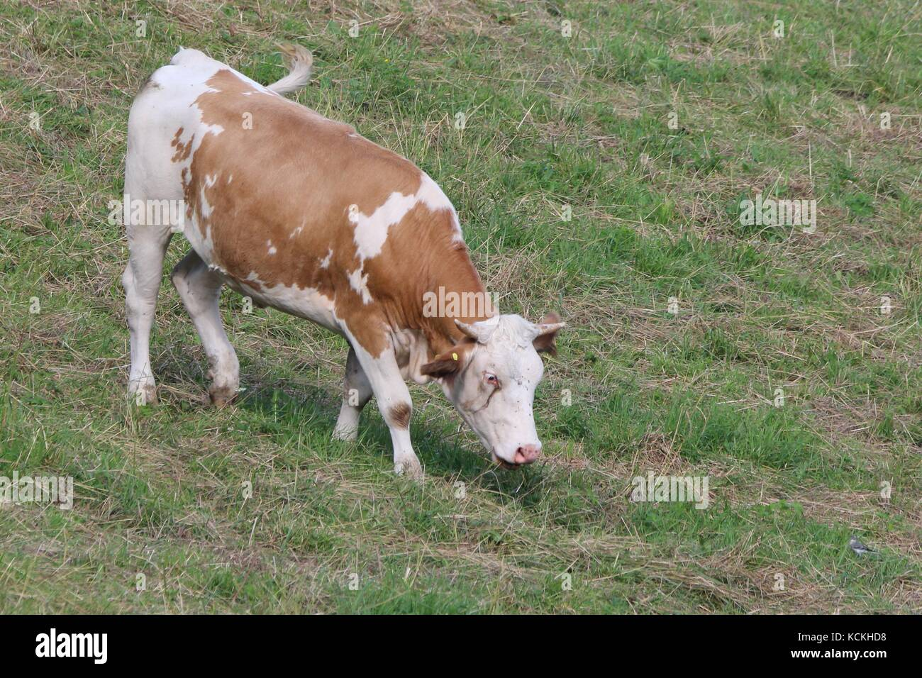 A grazing cattle on the meadow Stock Photo