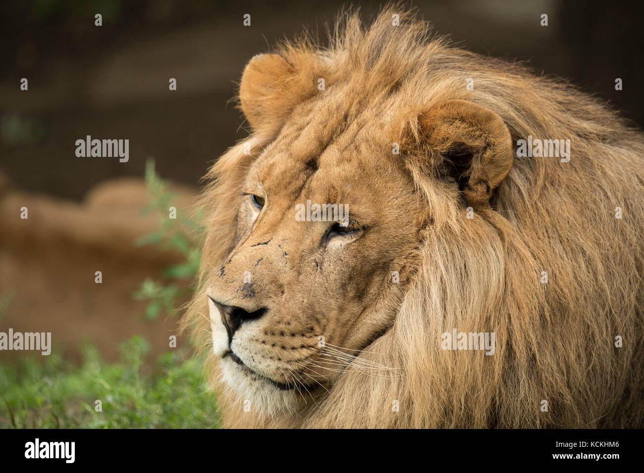 Headshot of a lion - Stock Image