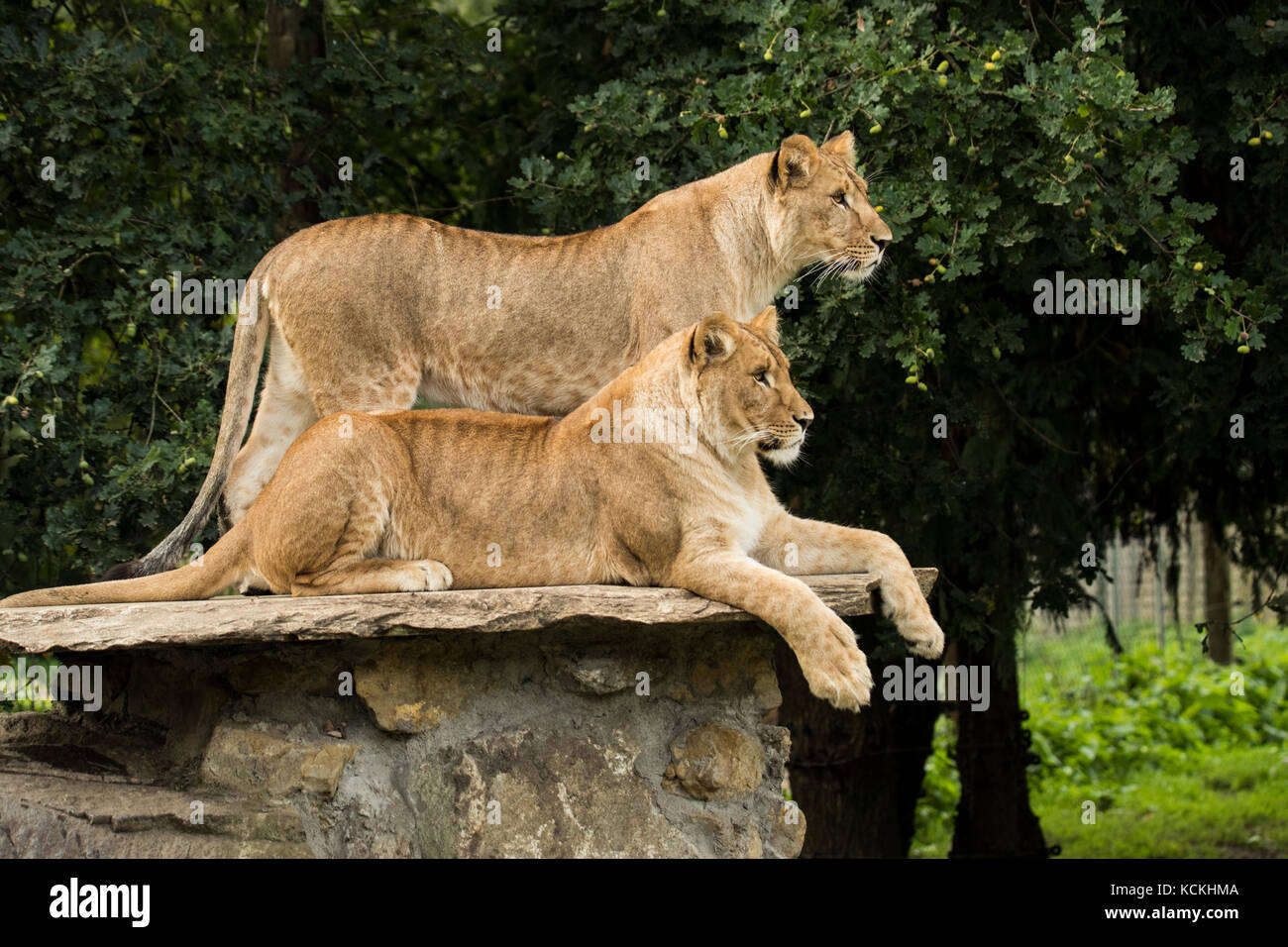 Two lionesses, one standing, one lying down - Stock Image