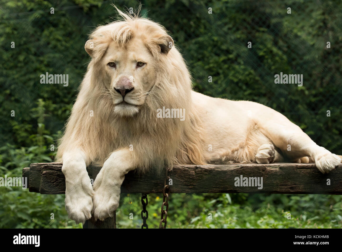Young white lion lying on wooden platform - Stock Image