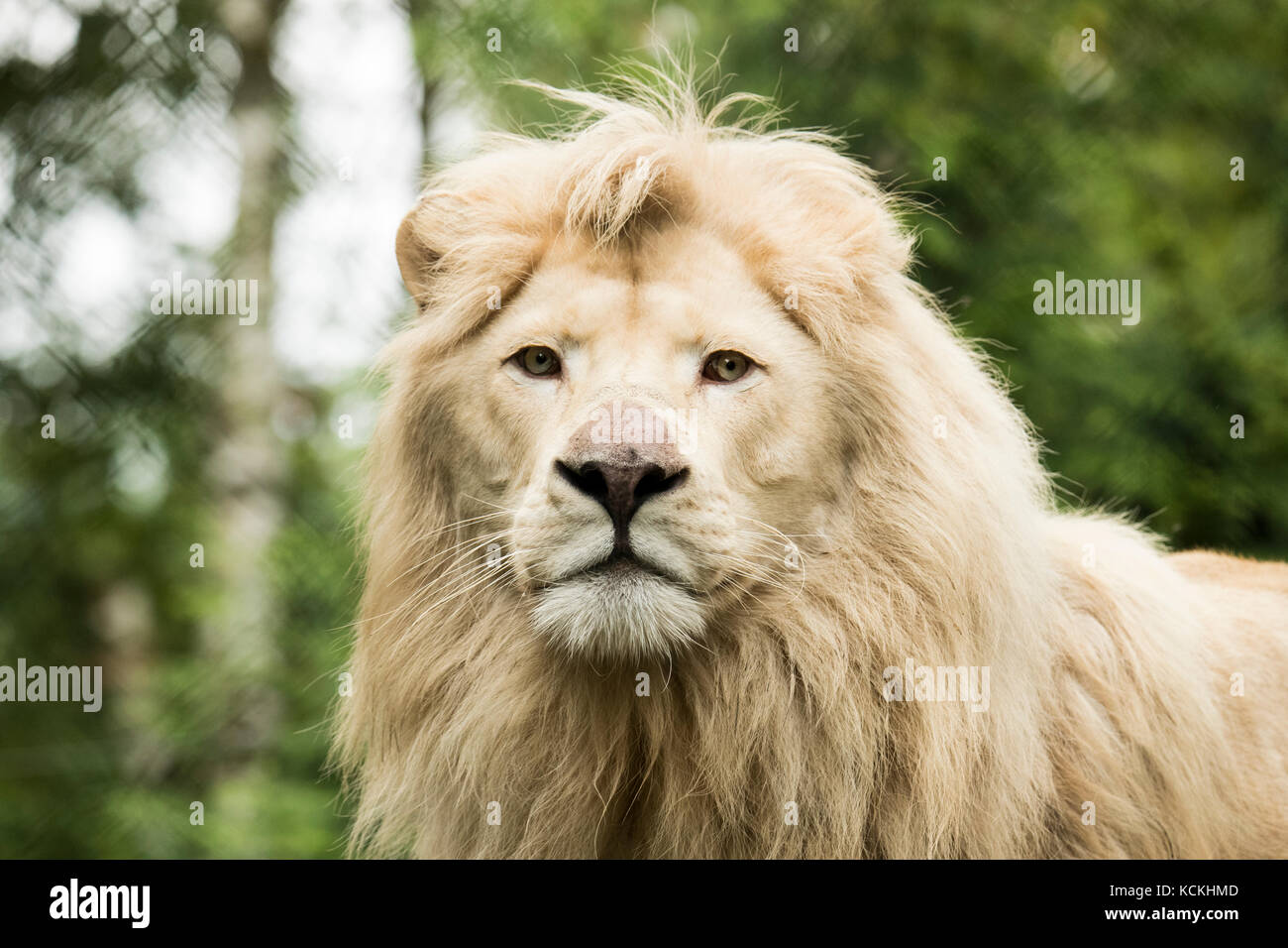 Headshot of a young white lion - Stock Image