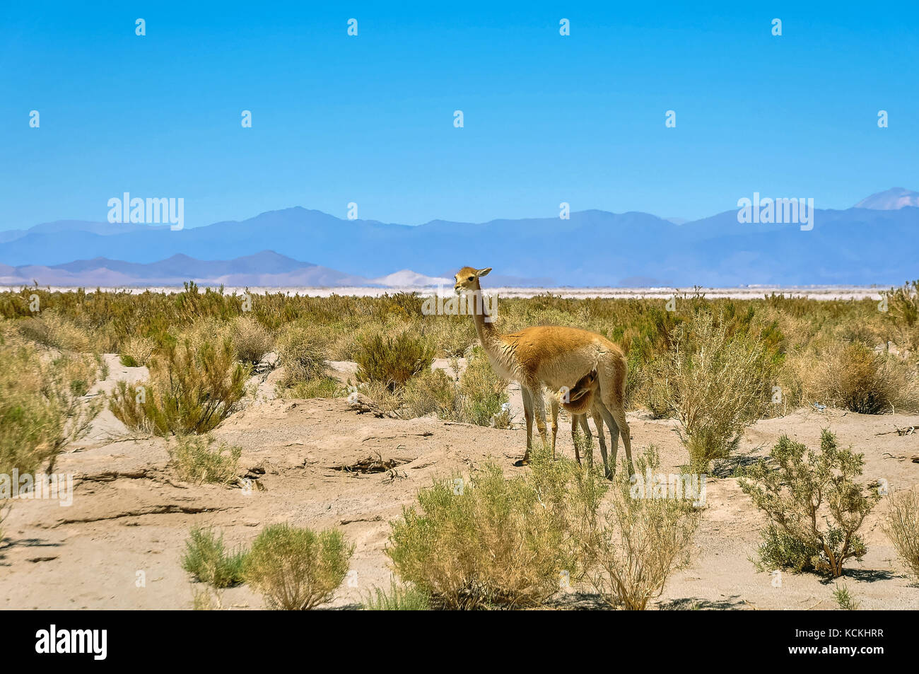 A lama mother feeds her child in northern Argentina - Stock Image