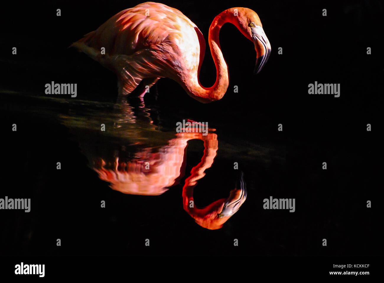 Pink flamingo reflected in water. Dark background - Stock Image