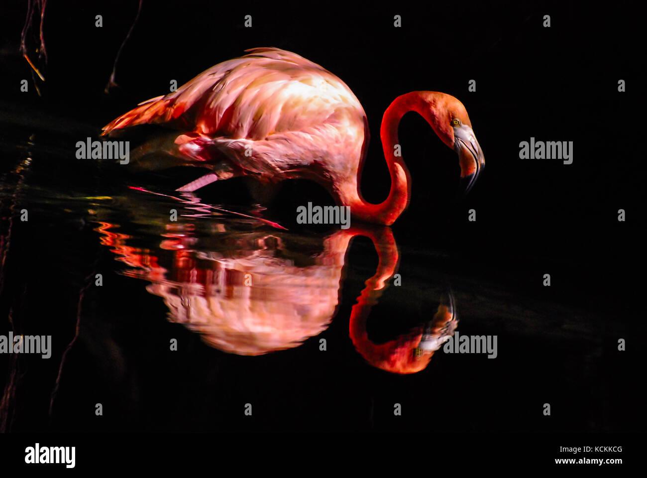 Pink flamingo reflected in water. Dark background Stock Photo